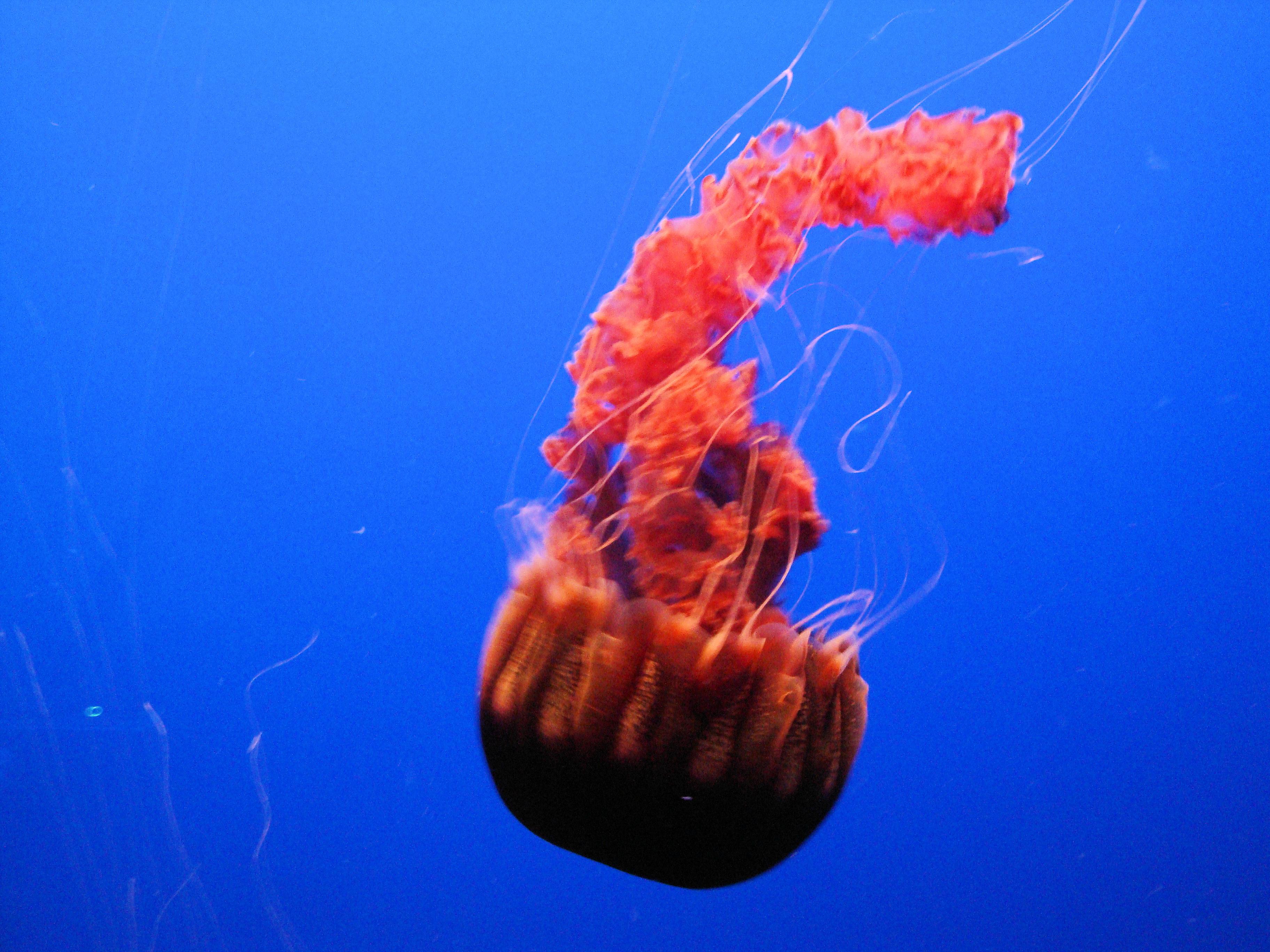 File Dsc26400 Black Sea Nettle Quot Chrysaora Achlyos