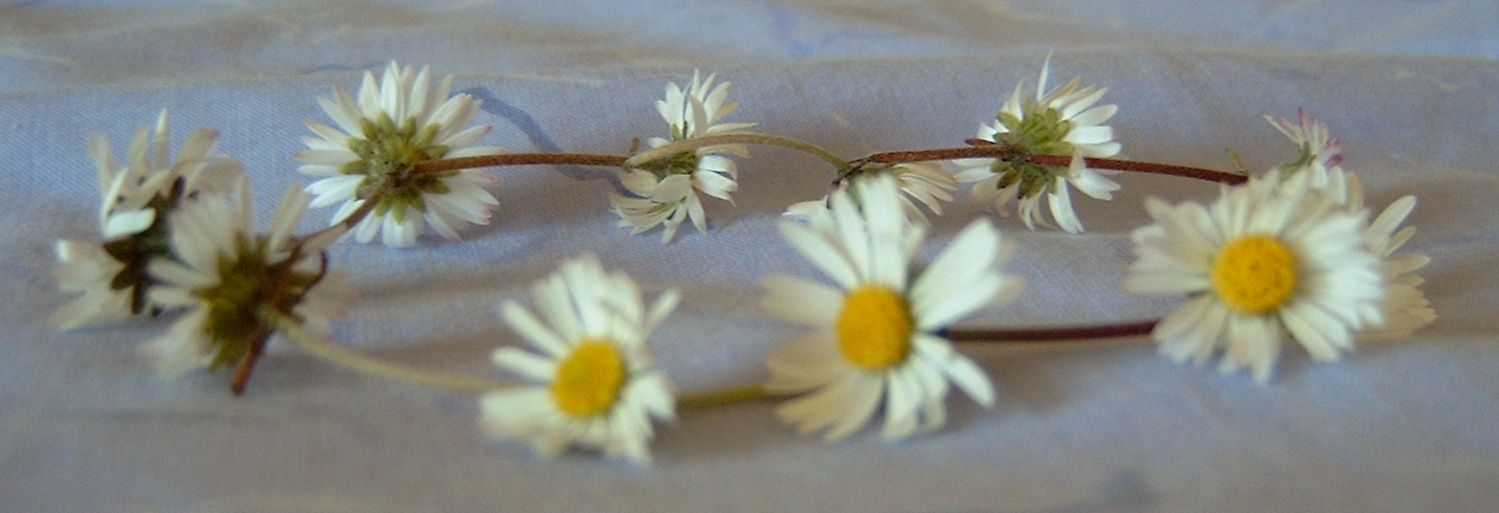 A daisy garland, a chain of daisy flowers