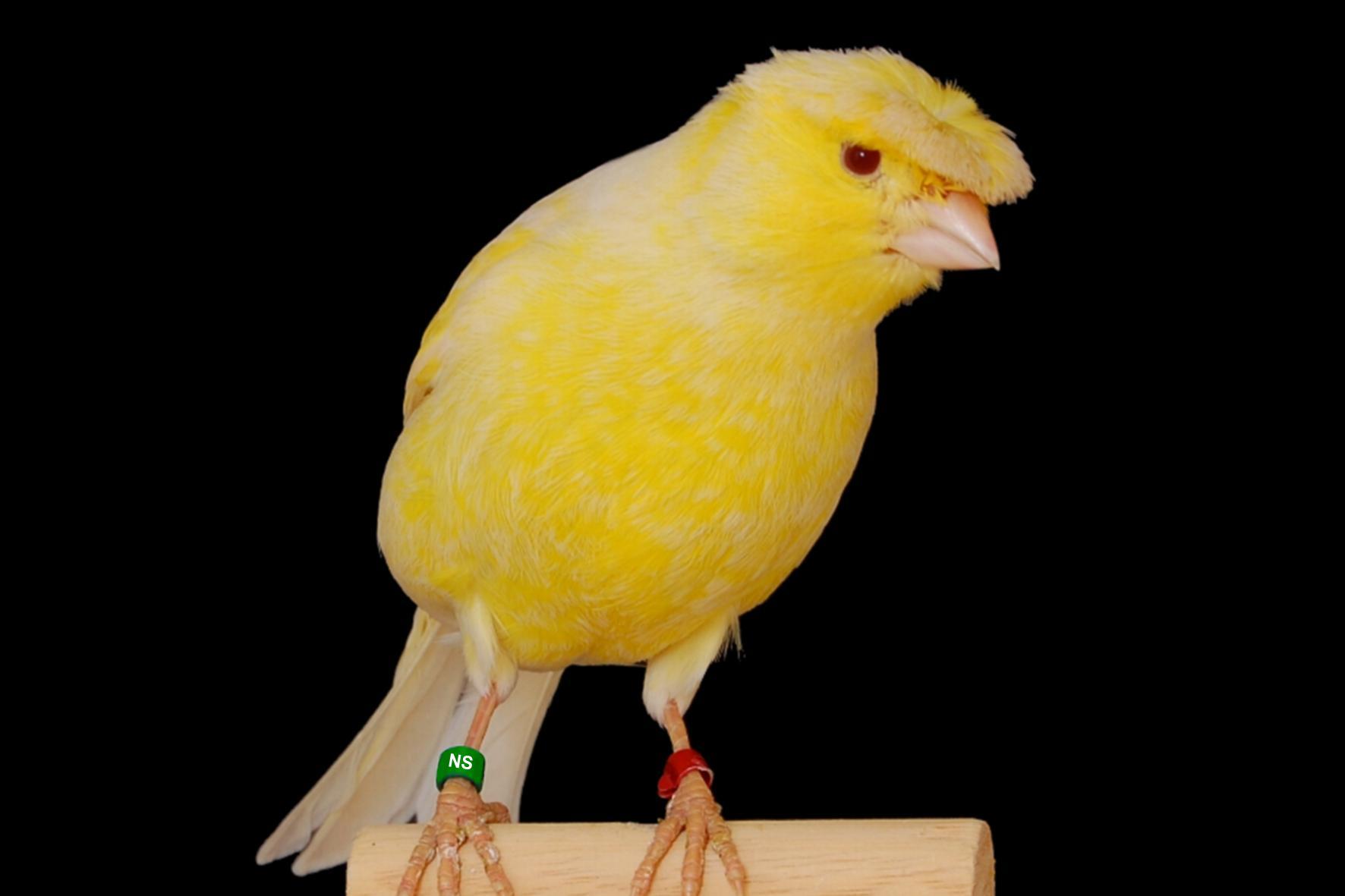 Kanarienvogel Alter Erkennen