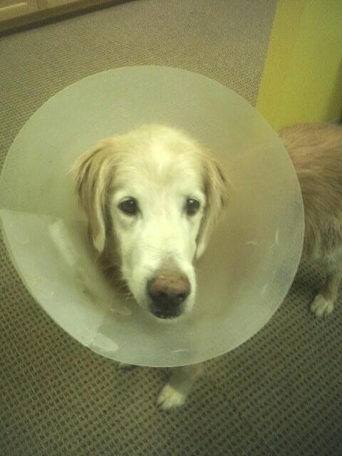 dog amoxicillin side effects