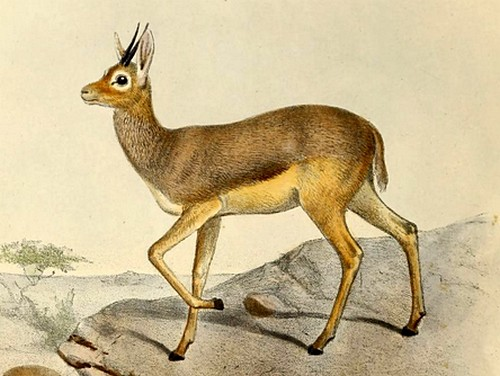 The average litter size of a Beira (antelope) is 1