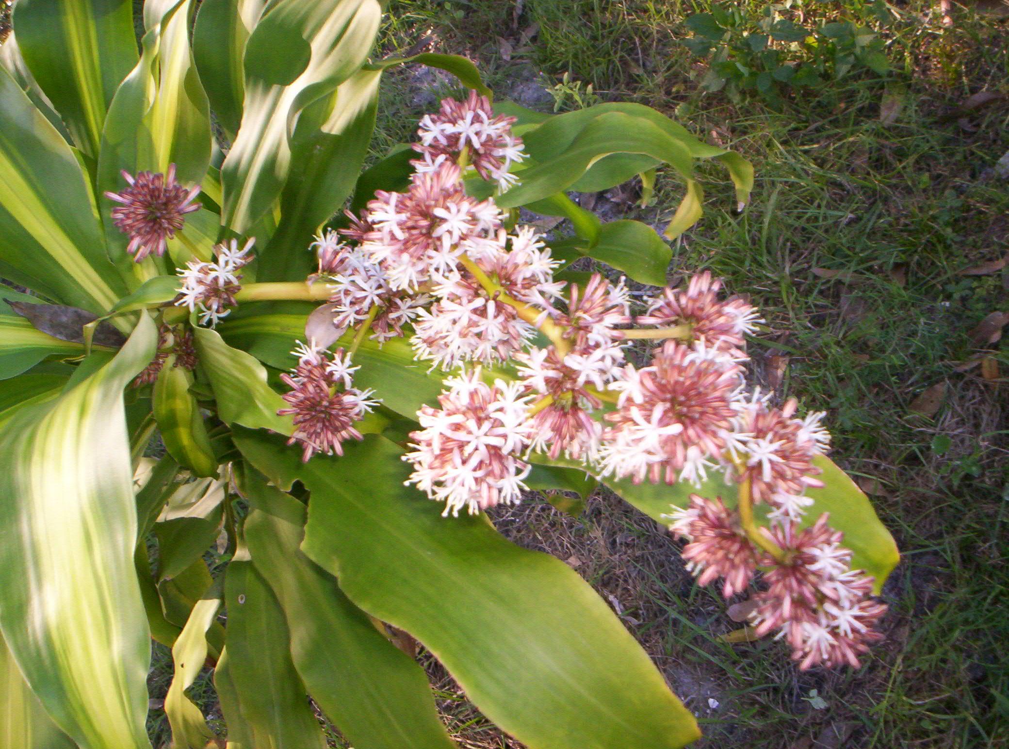 FileDracaena Fragrans Massangeana Flowerjpg Wikimedia