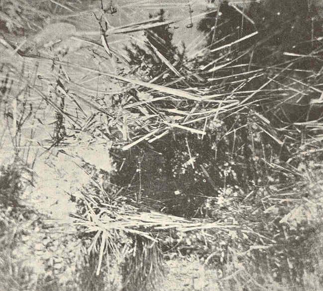 File:FMIB 41585 Nests of the Dogfish (Almia calva).jpeg