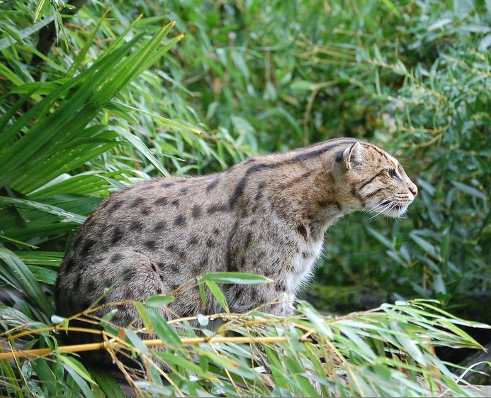 Small wild cats overlooked by conservationists and in for Small fishing sponsors