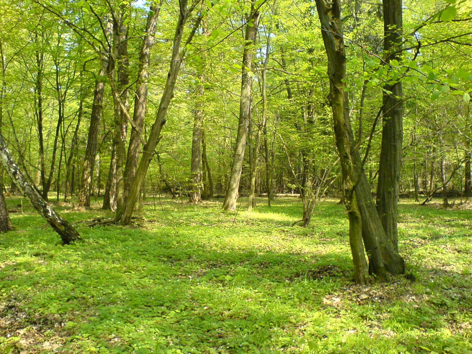File:forest nature reserve grady nad moszczenica2, poland, 6 may 2006