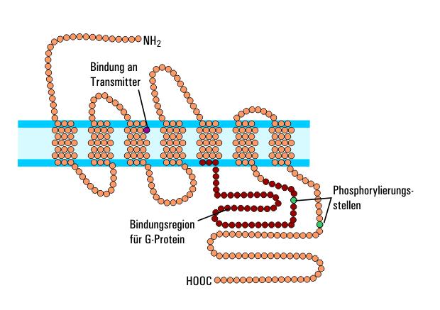 Muskarinischer Acetylcholinrezeptor – Wikipedia
