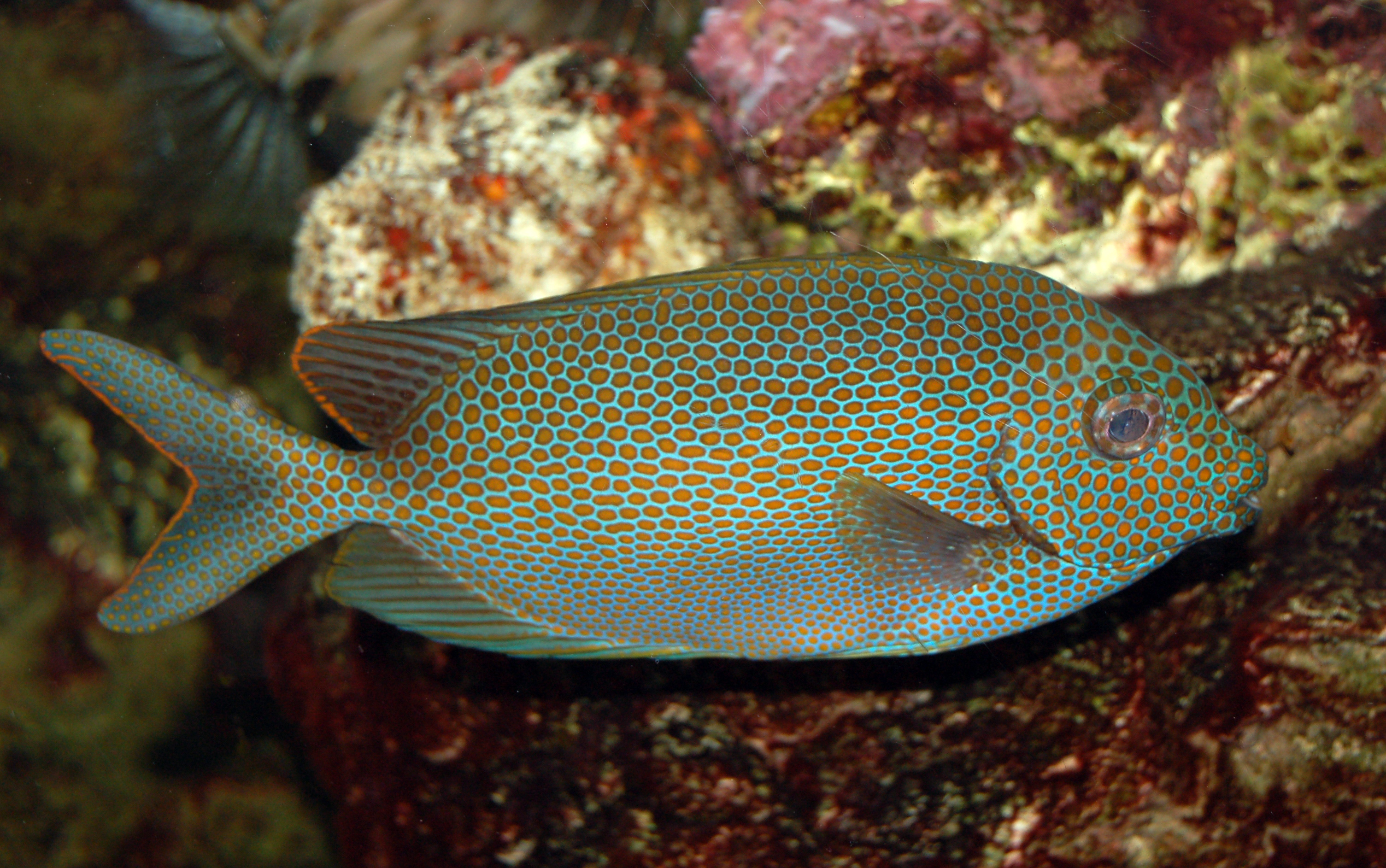 file goldspotted spinefoot saltwater fish
