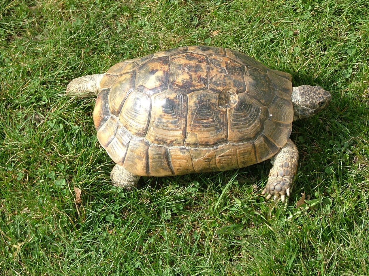 ibera greek tortoise - photo #40