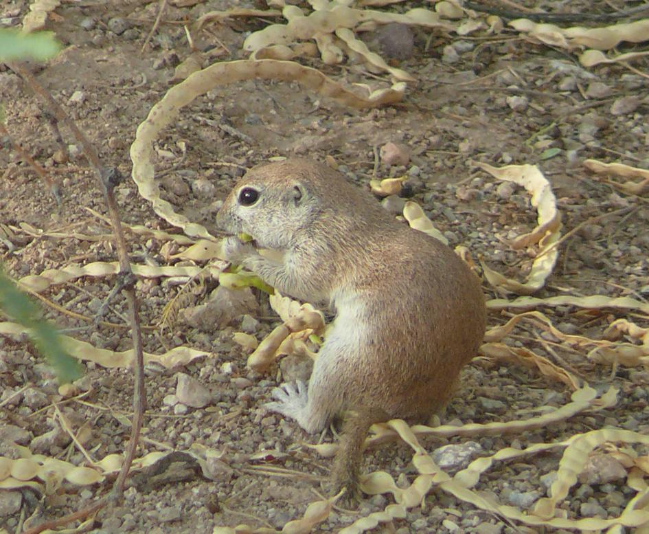 Ground squirrels live in