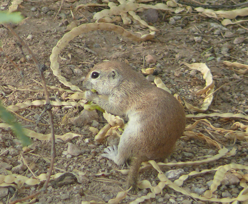 File:Ground squirrel mesquite jpg - Wikimedia Commons