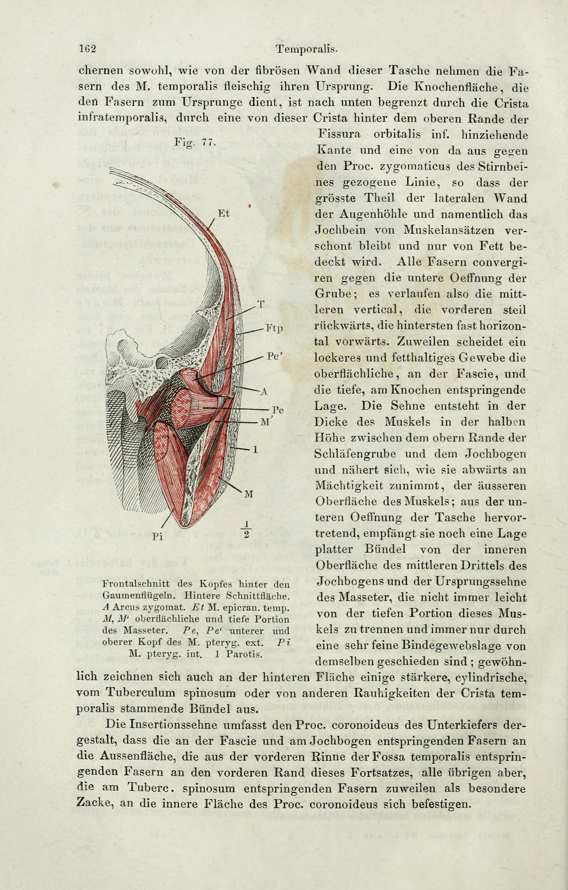 File:Handbuch der systematischen Anatomie des Menschen (Page 162 ...