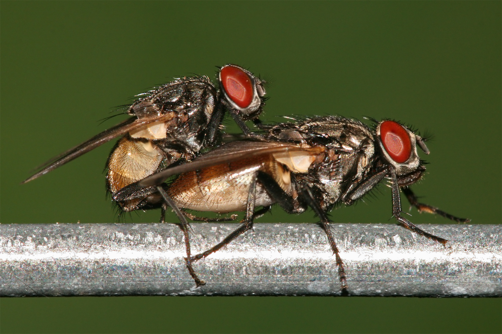 https://upload.wikimedia.org/wikipedia/commons/2/29/Housefly_mating.jpg