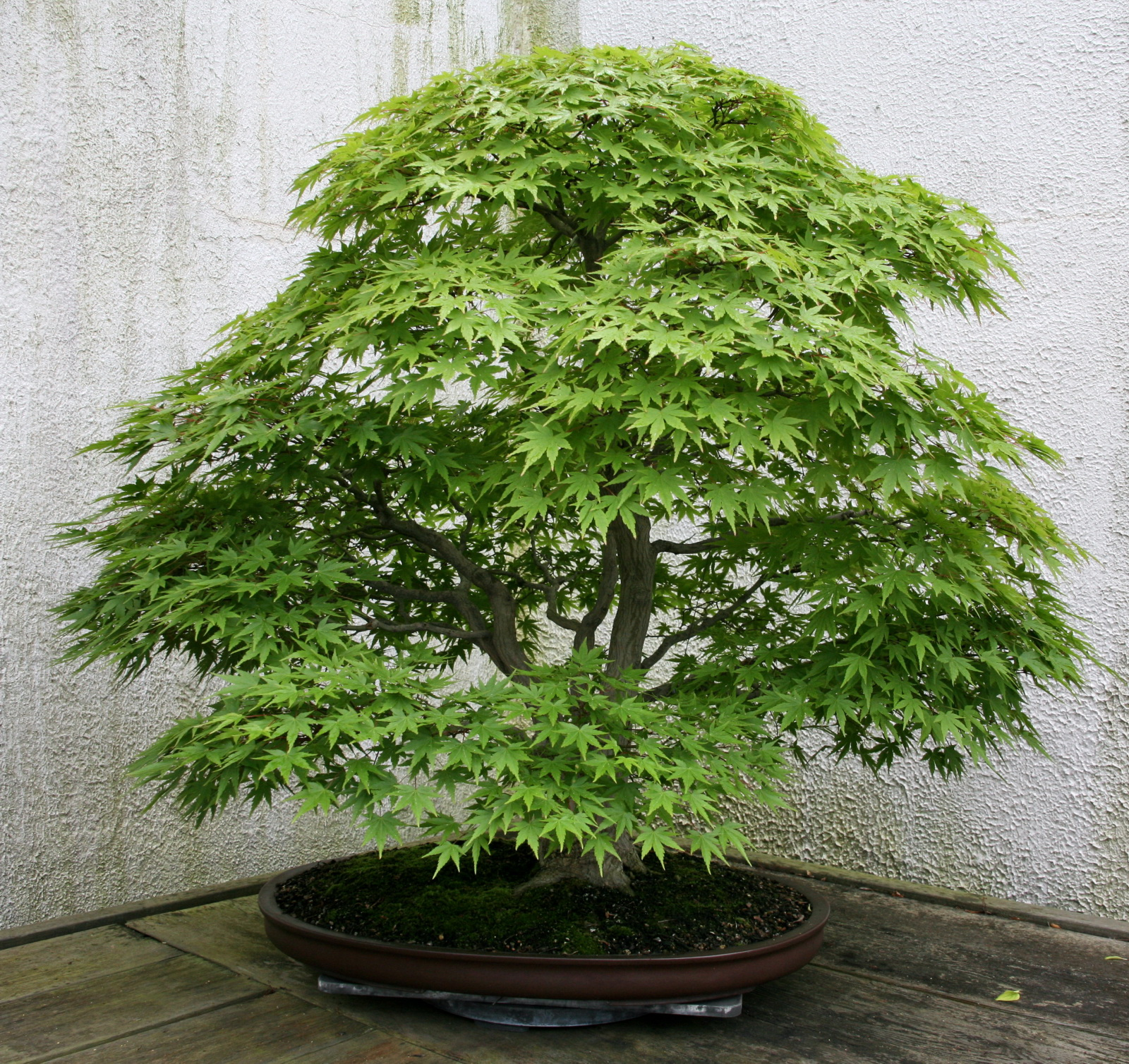 japanese maple acer palmatum review images. Black Bedroom Furniture Sets. Home Design Ideas