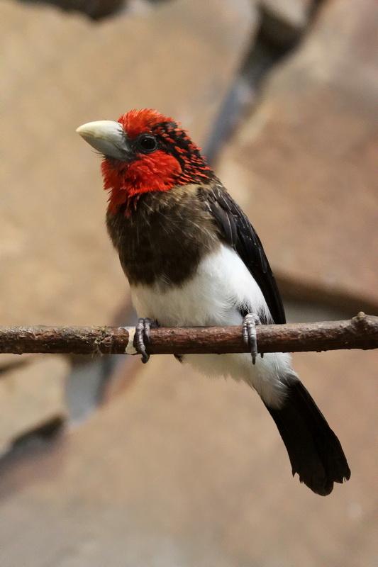 velká prsa černé ptáky