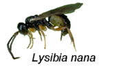 Description de l'image Lysibia nana.png.