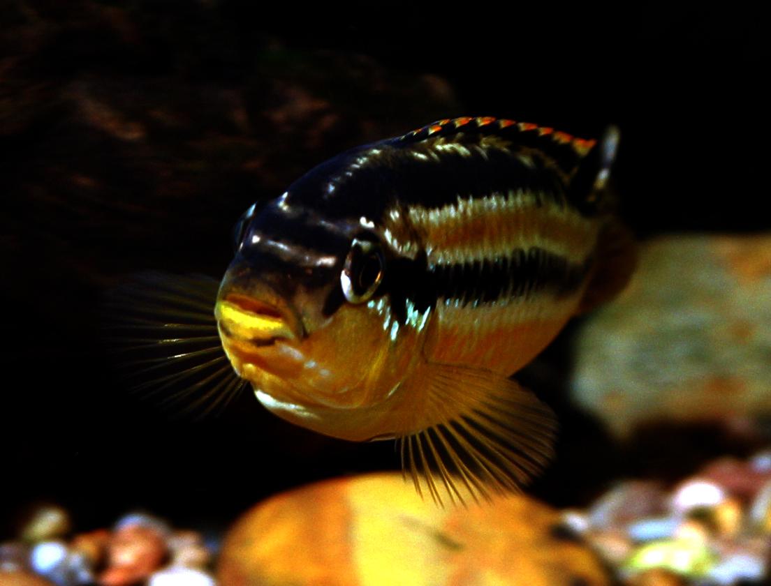 Lake malawi cichlids tumblr for Lake malawi fish