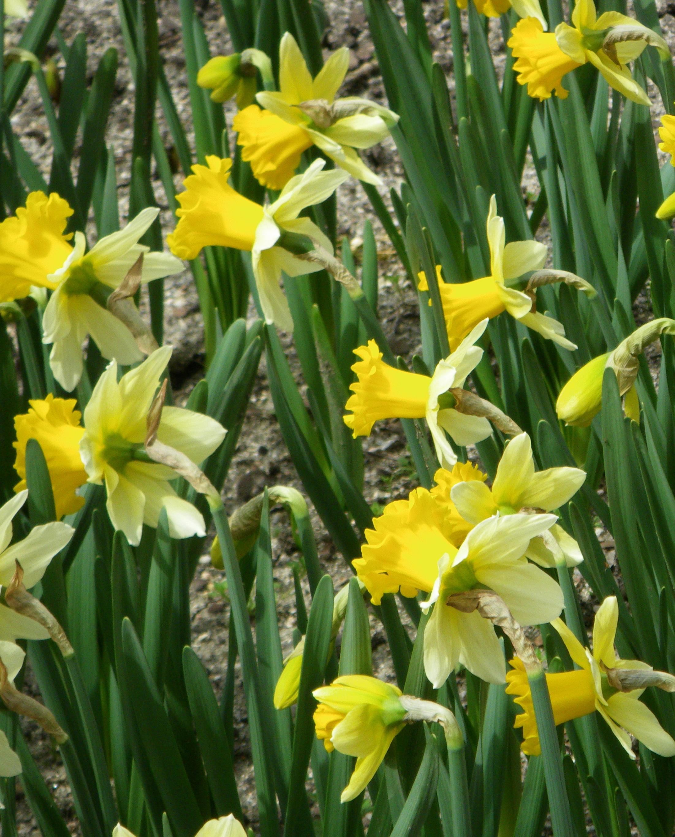 File narcissus wisley cultivar real jard n bot nico for Botanico jardin
