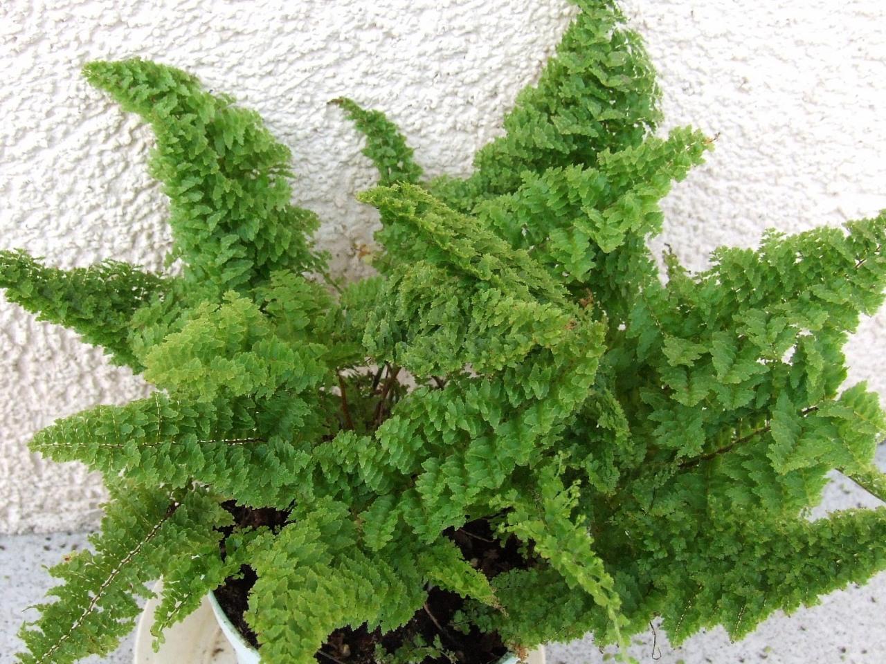 10 plantas purificadoras de aire alicante forestal for Plantas ornamentales helechos