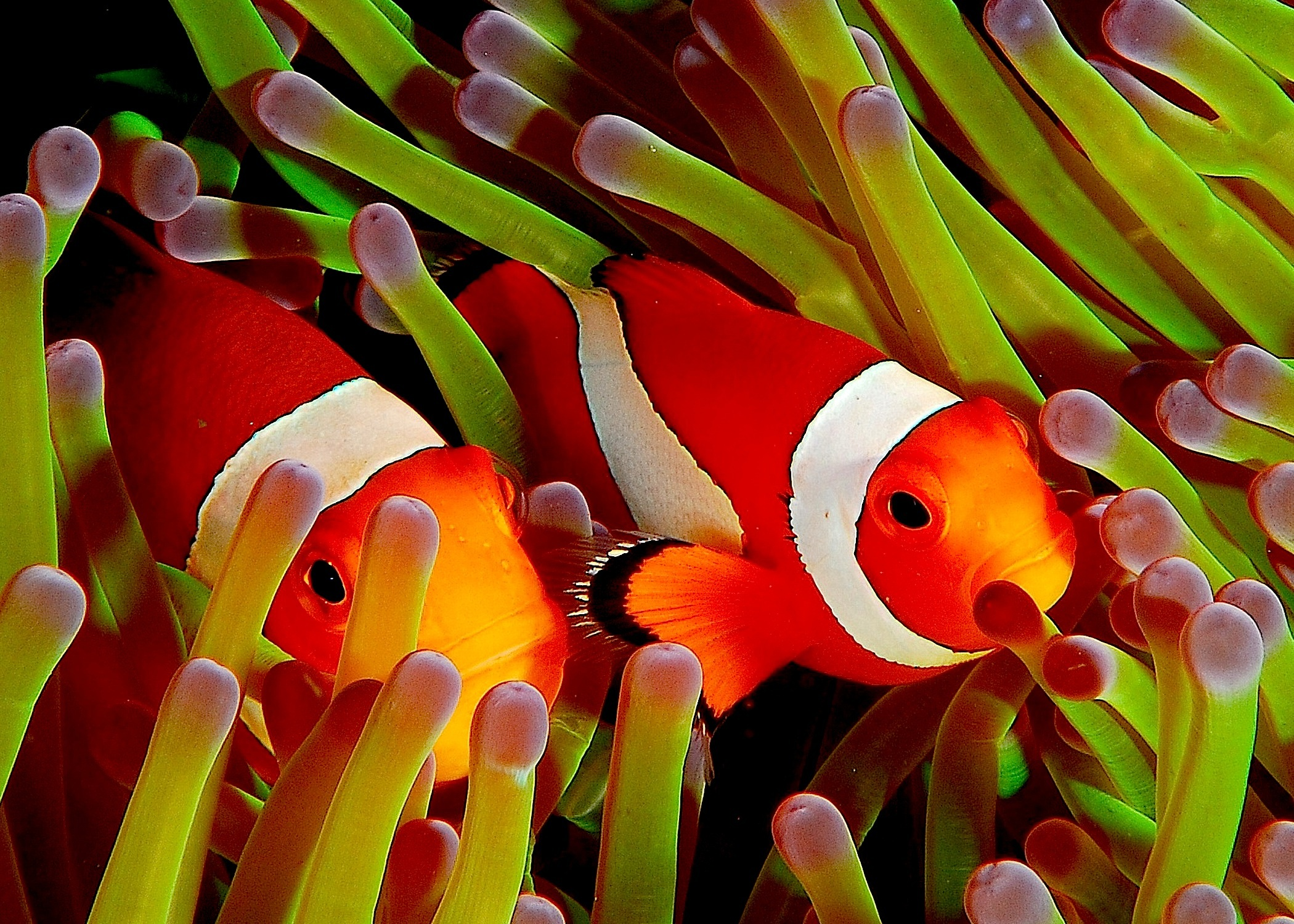 File ocellaris clownfish wikipedia for Pictures of clown fish