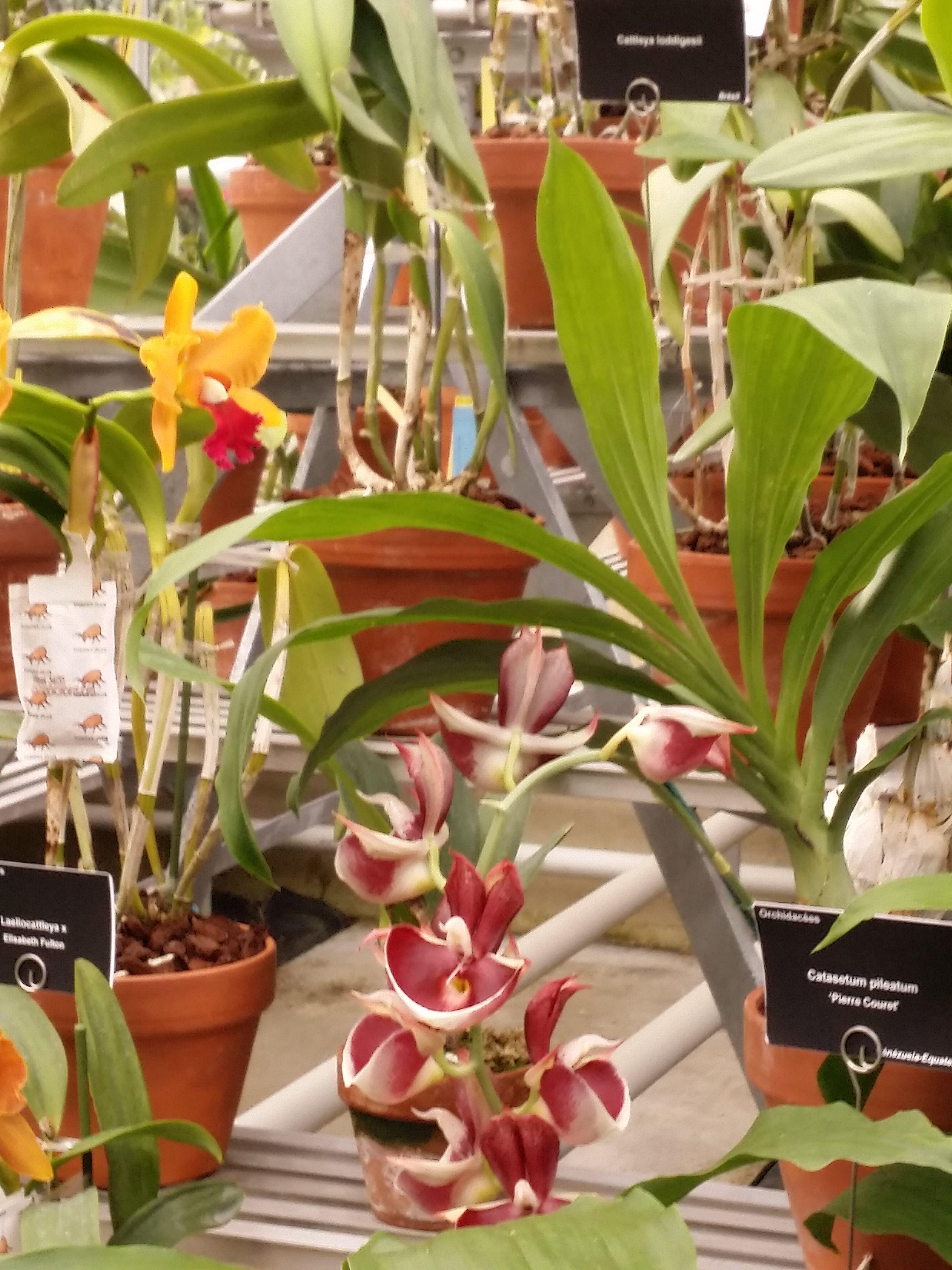 File:Orchidées des serres du jardin du Luxembourg.jpg ...