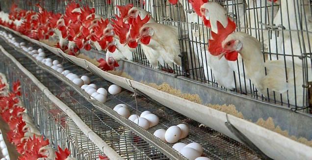 Chicken Layer Cage Design Pdf