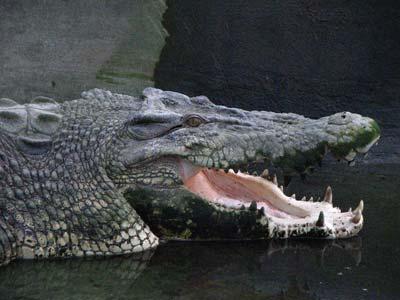 Quão grande pode ser? - Crocodilianos gigantes Pangil_Crocodile_Park_Davao_City