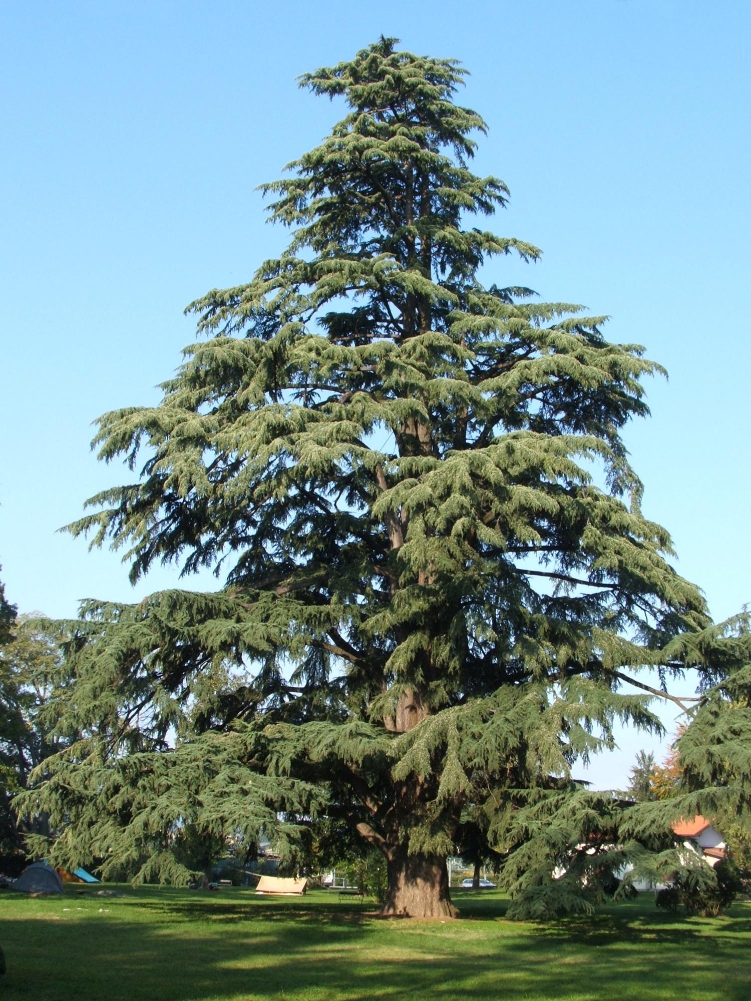 File pedrengo cedro nel parco wikipedia for Piante classificazioni inferiori successive