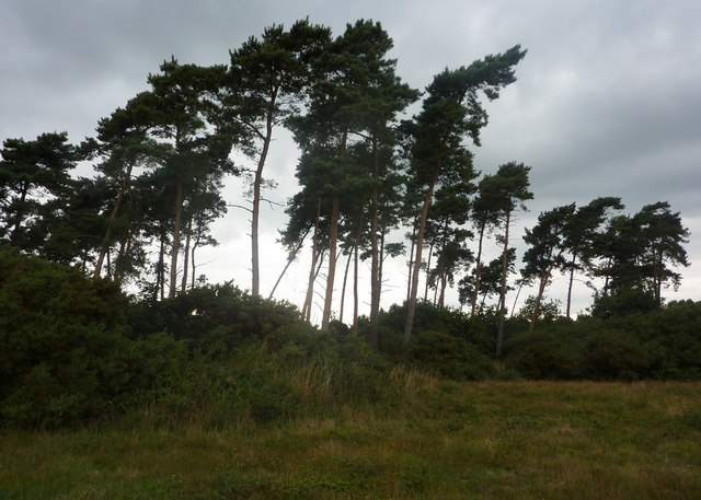 Pine trees in Cliff Plantation - geograph.org.uk - 1432820