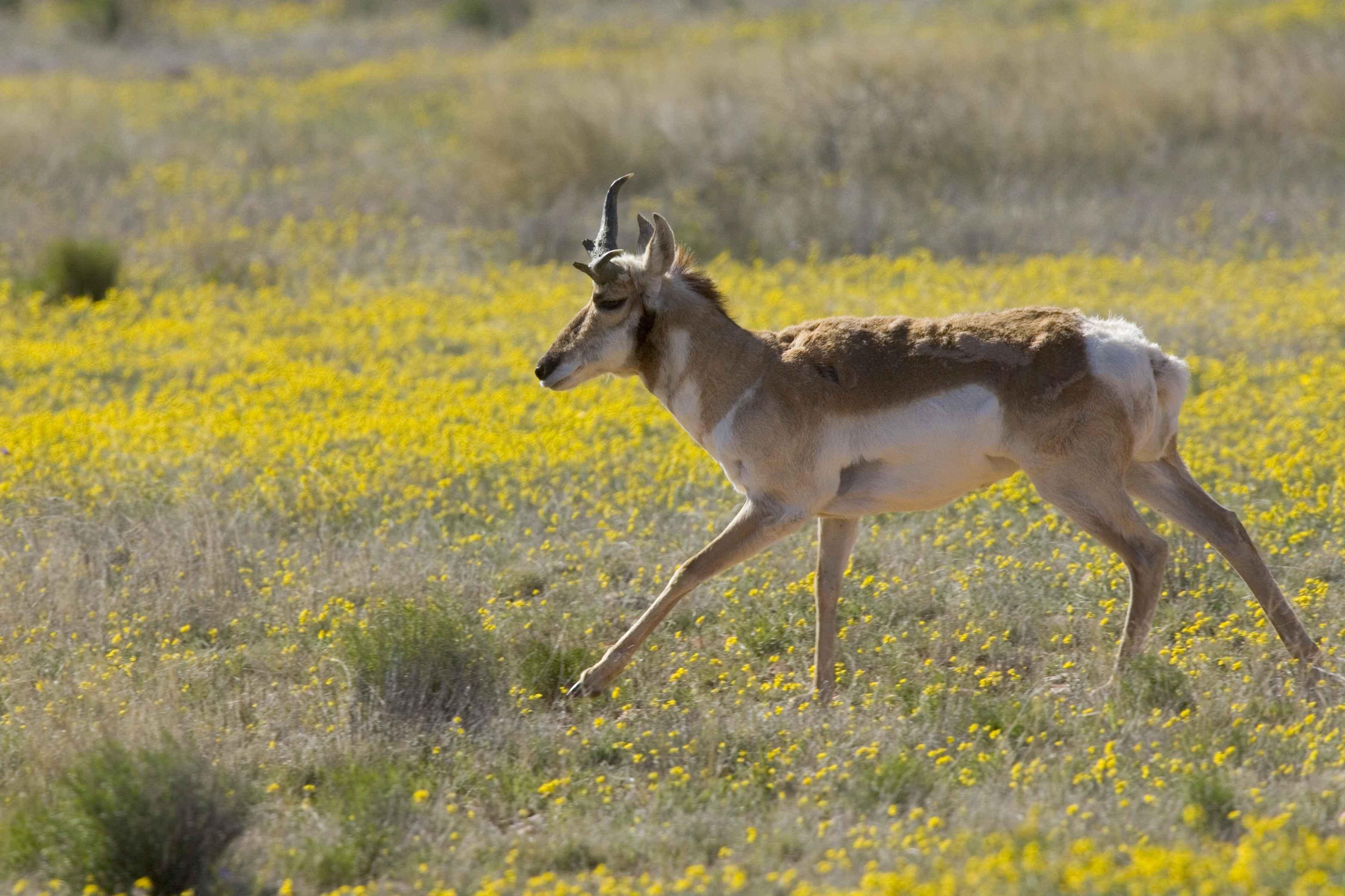 File:Pronghorn antelope runs gingerly across a meadow.jpg ...
