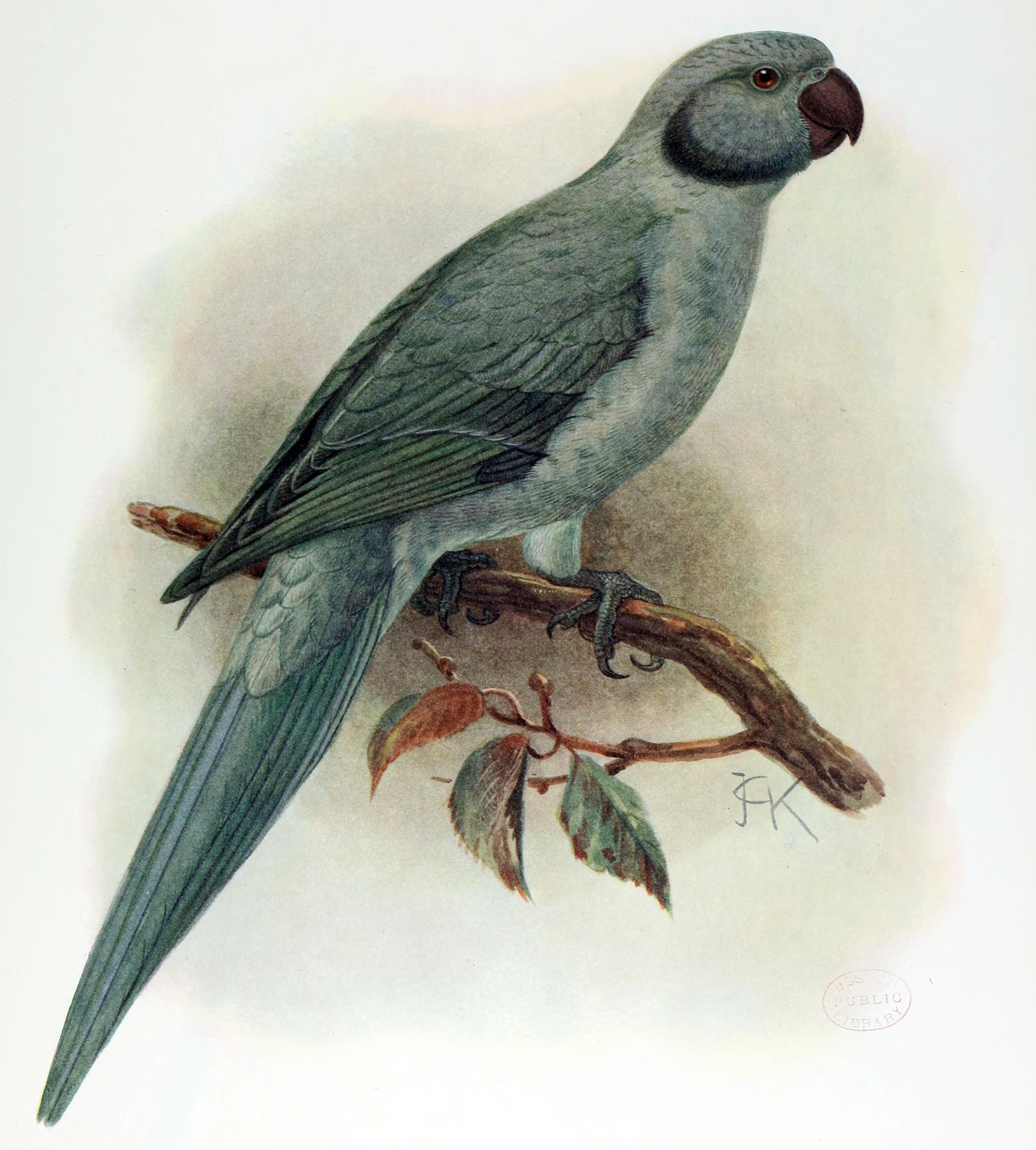 Вымершие и уничтоженные виды попугаев и других птиц Psittacula_exsul_(extinct)_by_J.G._Keulemans