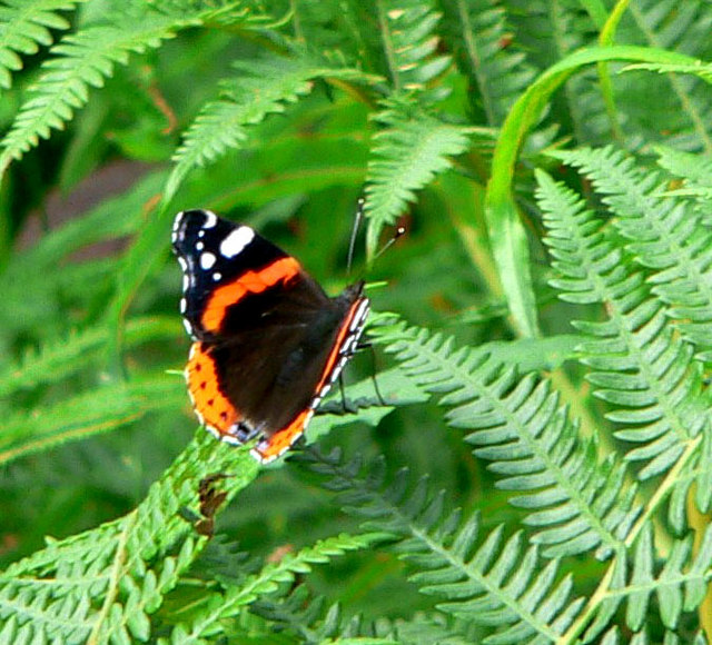 Red Admiral on Bracken - geograph.org.uk - 921923