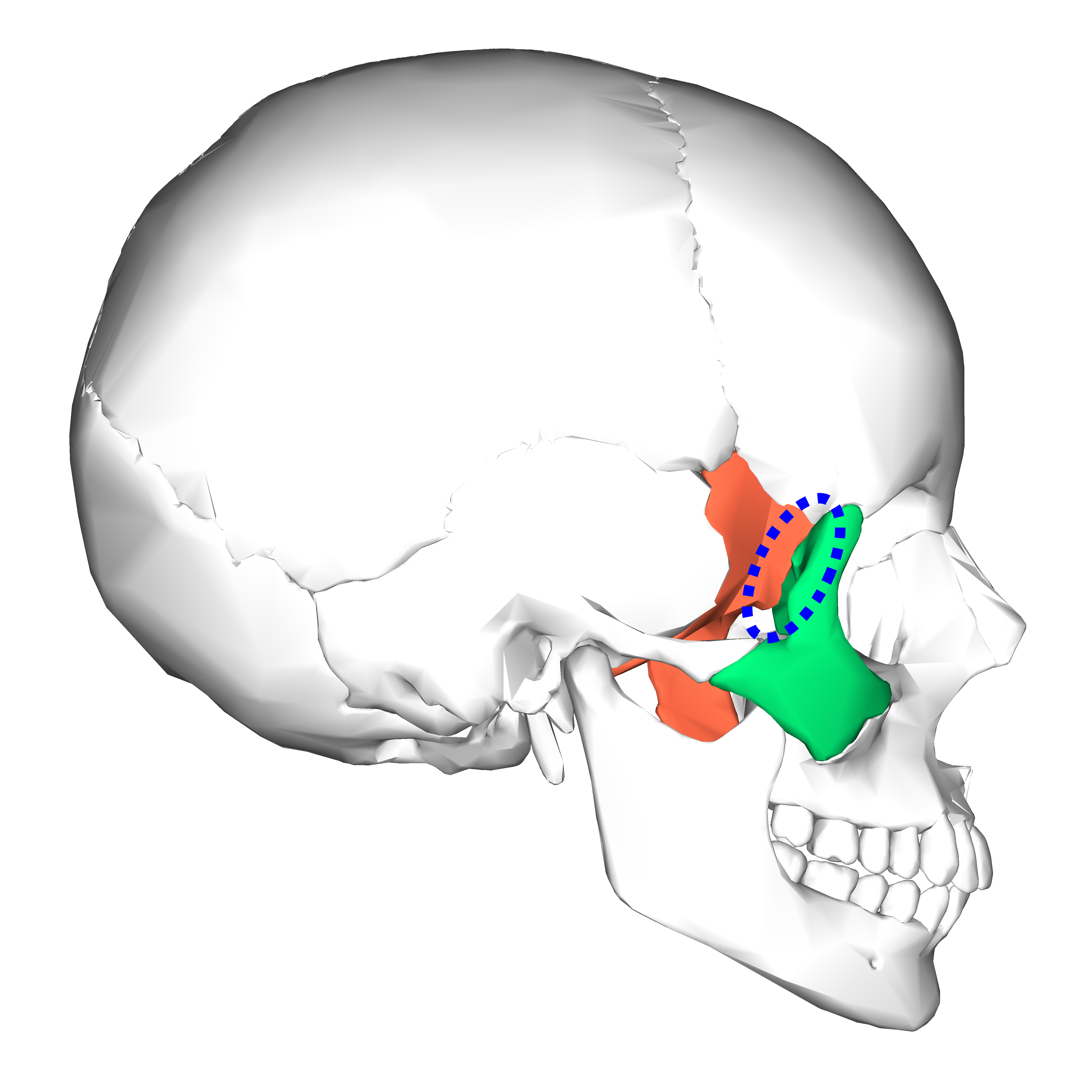 file:sphenoid bone and zygomatic bone - lateral view4, Sphenoid