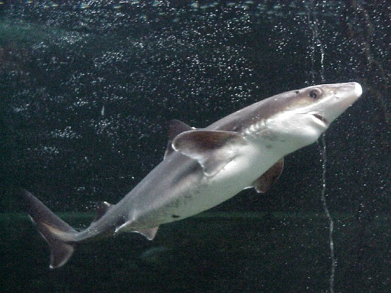 Spiny dogfish - Simple English Wikipedia, the free ...