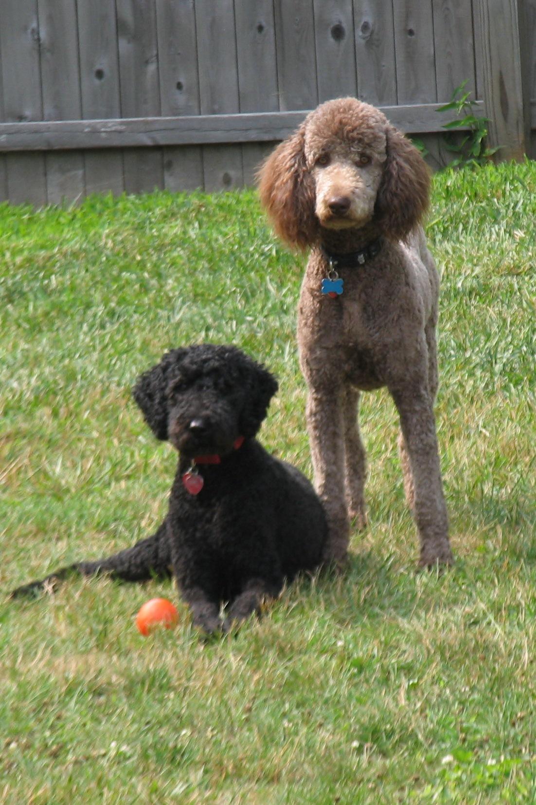 Description Standard Poodles Black and Brown Females.jpg