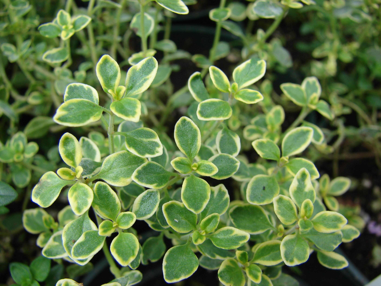 Starr 070906-8846 Thymus citriodorus.jpg