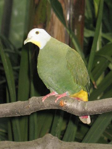 File:Stavenn Ptilinopus melanospila 00.jpg