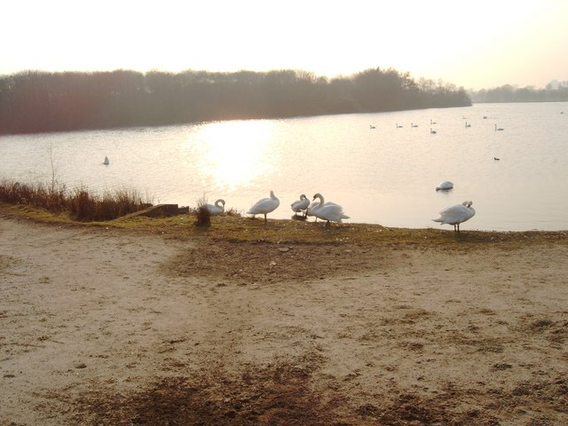 Swans on the Shore of Hogganfield Loch - geograph.org.uk - 382166