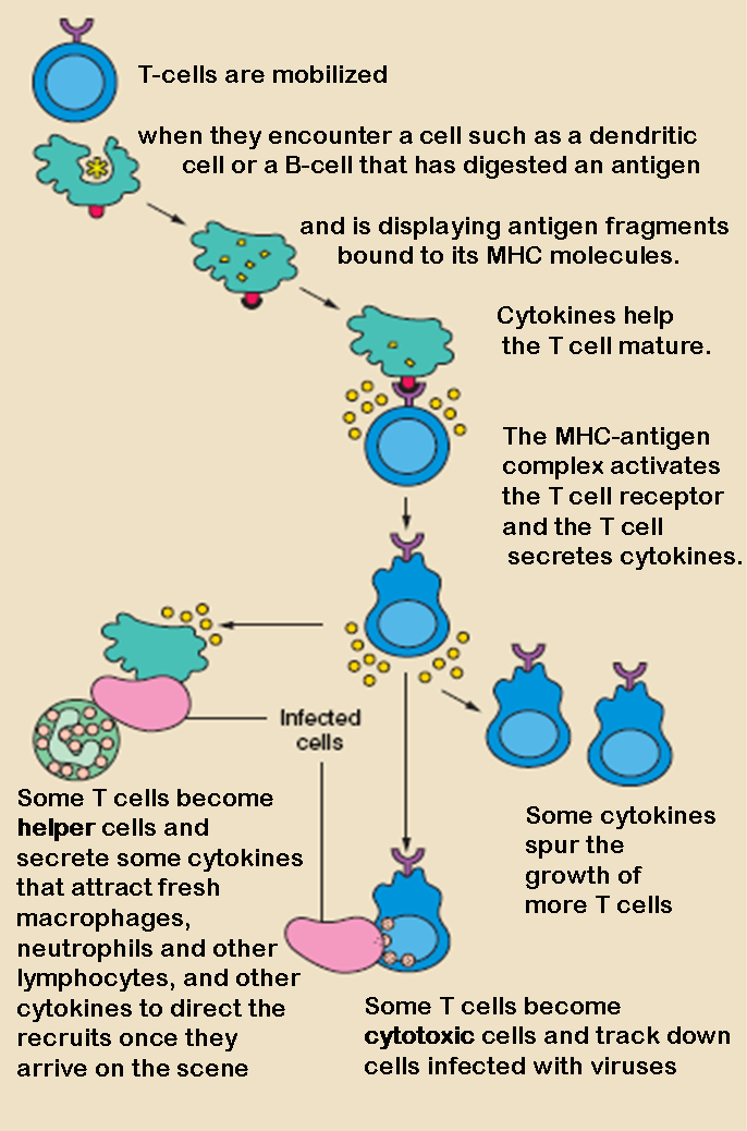The T lymphocyte activation pathway is triggered when a T cell encounters its cognate antigen, coupled to a MHC molecule, on the surface of an infected cell or a phagocyte. T cells contribute to immune defenses in two major ways: some direct and regulate immune responses; others directly attack infected or cancerous cells