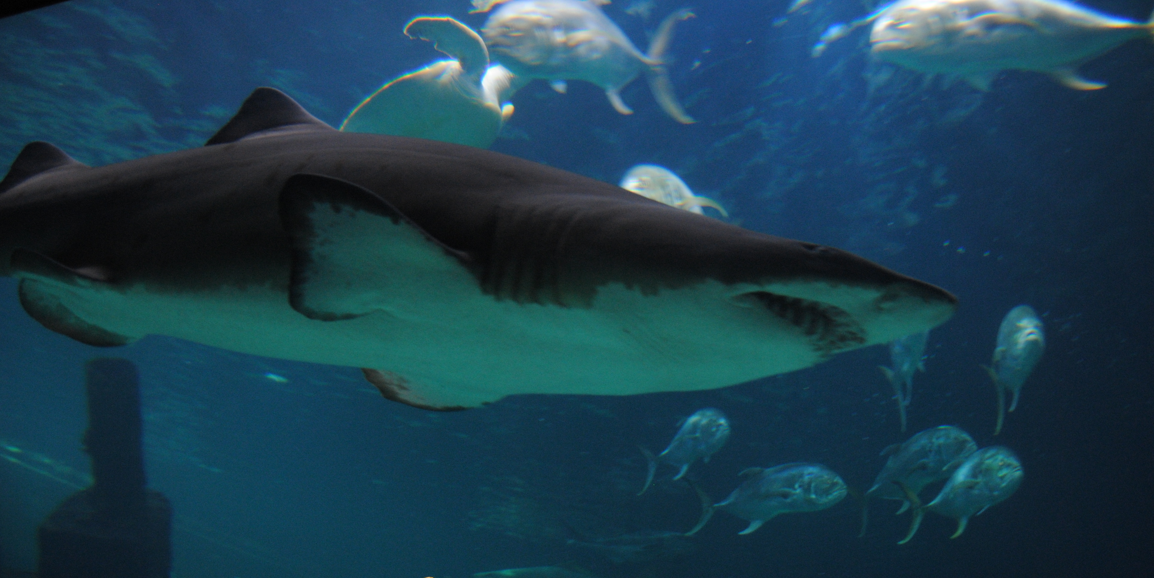 an overview of the tiger shark The tiger shark is a type of fish that can only be caught in the fishing trawler minigame it heals up to 2,375 life points and can heal above maximum.