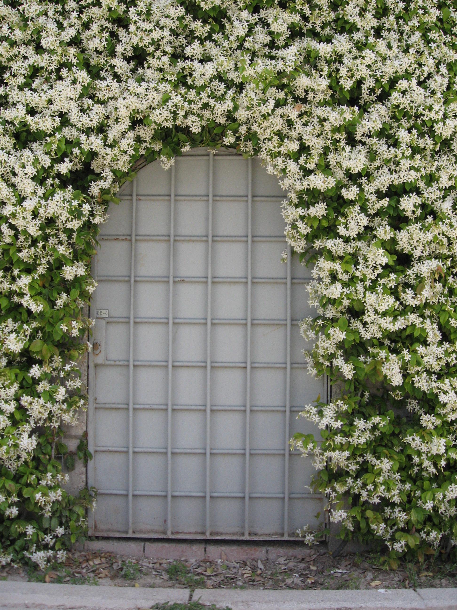 Trachelospermum jasminoides wikiwand izmirmasajfo