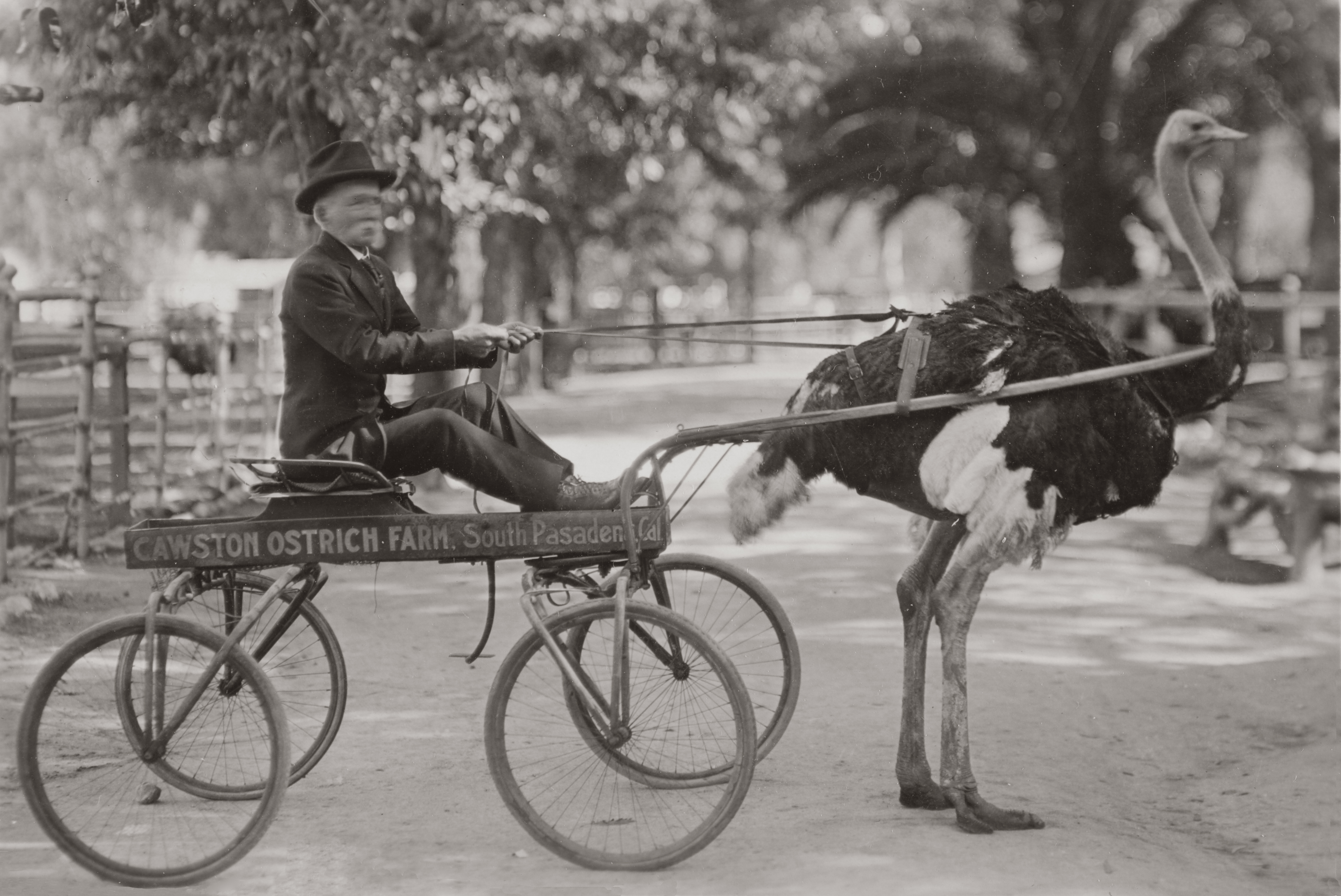 Animals Pulling Wagon : File wagon pulled by an ostrich g
