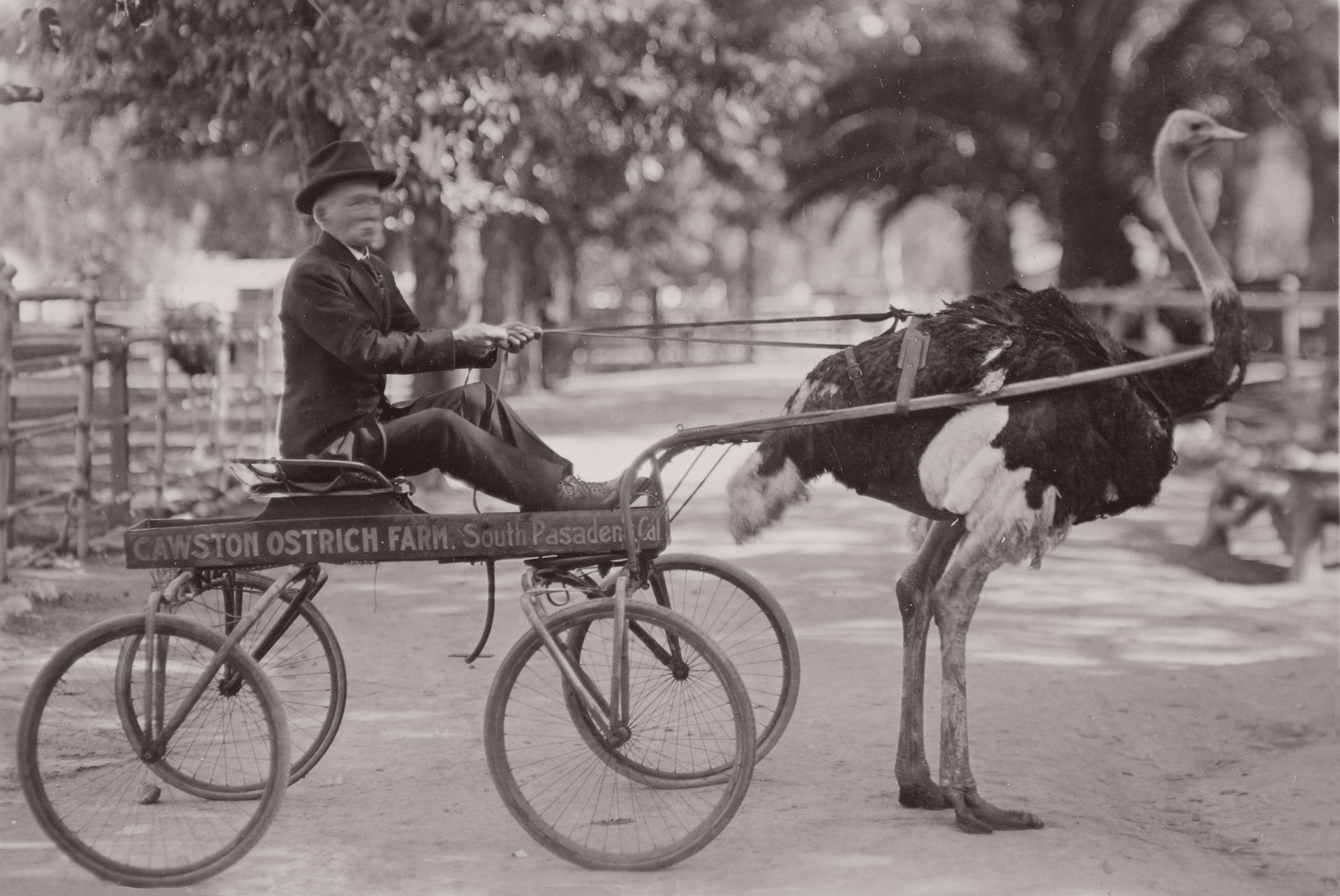 Image Result For Dog Cart Pulling
