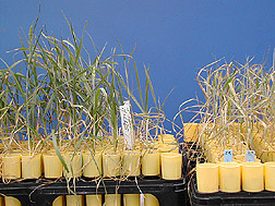 Wheat cultivar tolerant of high salinity (left) compared with non-tolerant variety