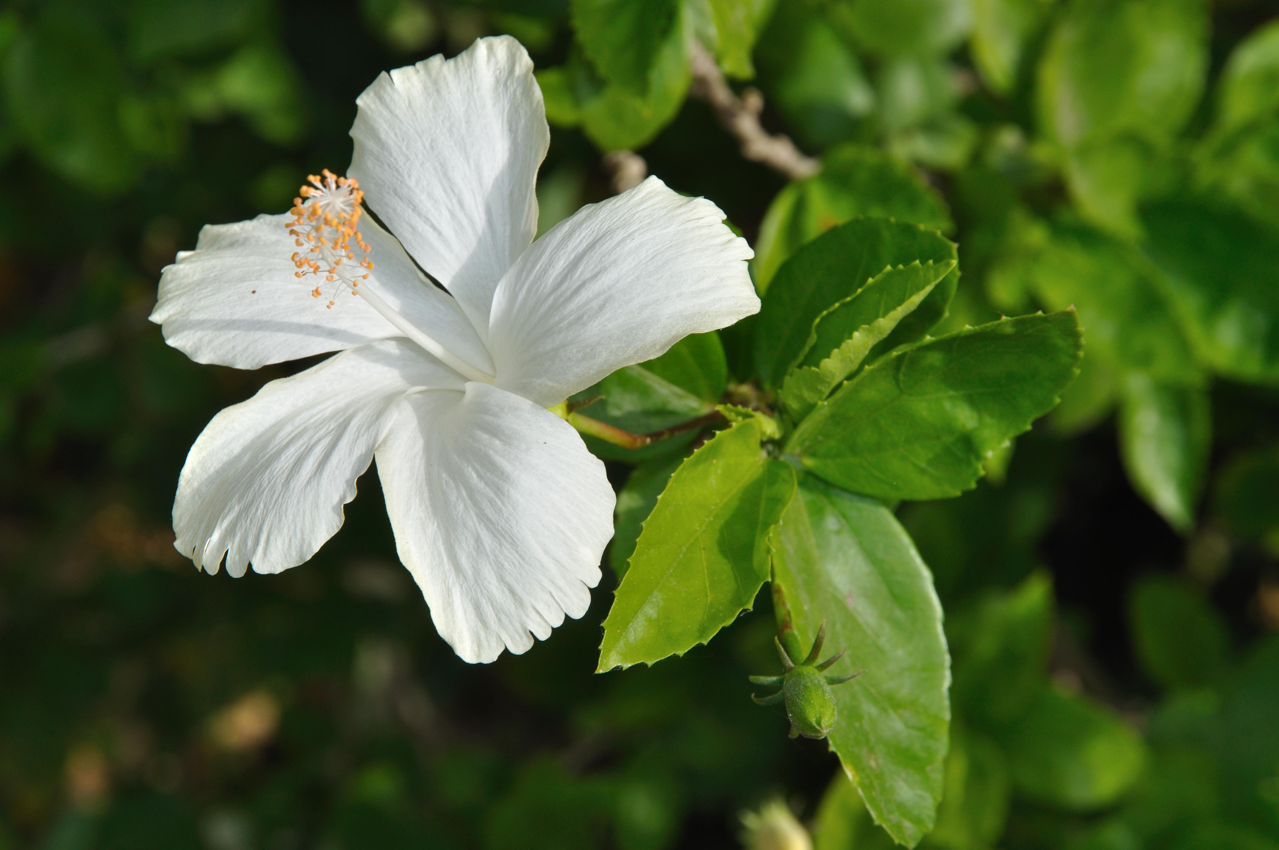 File:White Hibiscus 5821.JPG - Wikimedia Commons