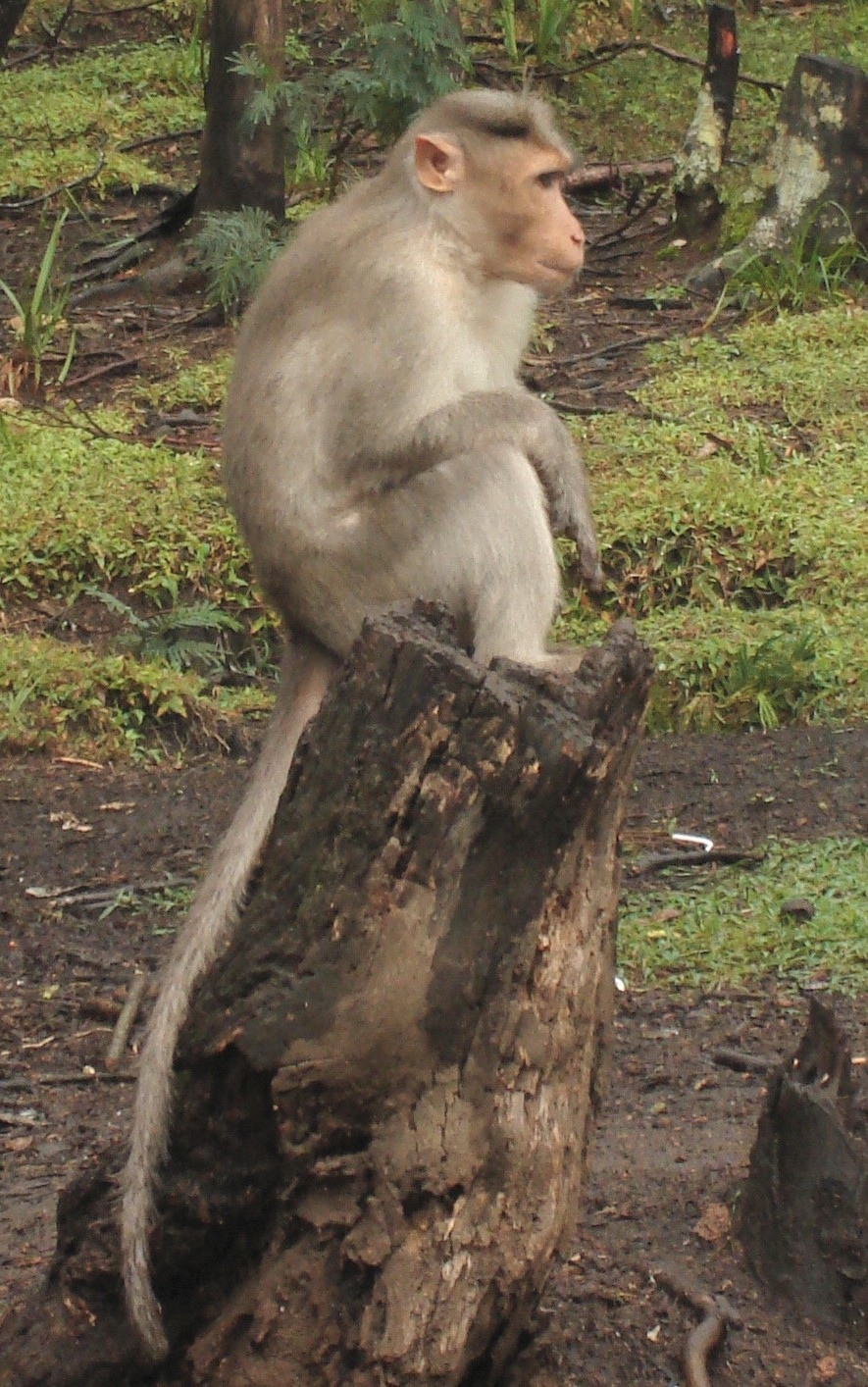 long-tailed macaque - Wiktionary
