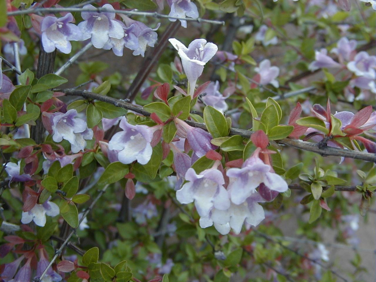 l'abélia, un arbuste fleuri et au feuillage décoratif   plantes d