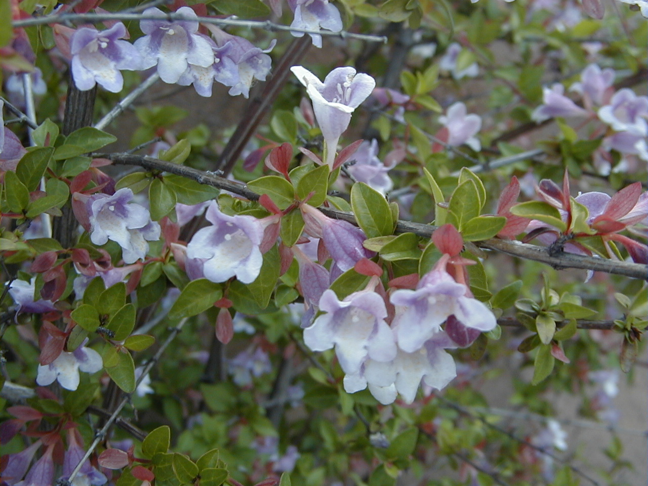 Arbuste Fleuri Feuillage Persistant l'abélia, un arbuste fleuri et au feuillage décoratif