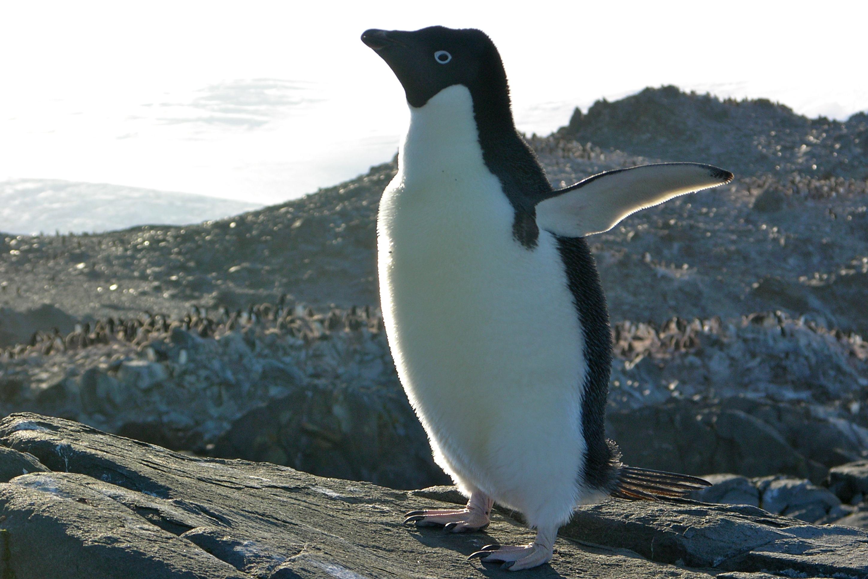 пингвин адели фото таблице