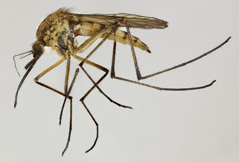 Aedes rusticus - Wikipedia