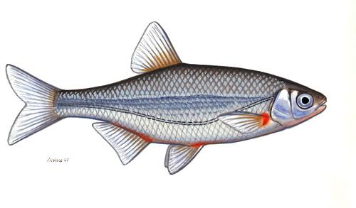 Schneider fisch wikiwand for Fisch bilder